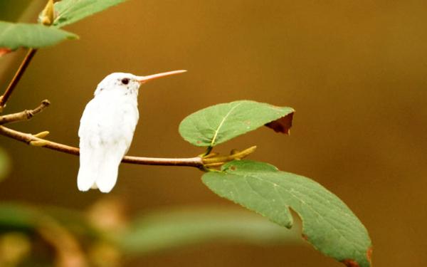 Картинка Колибри с белым оперением » Колибри » Птицы ...