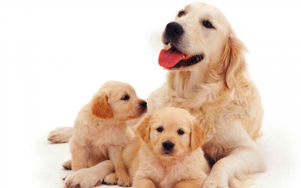 Картинка Собака и щенки » Собаки » Животные » Картинки 24 ...