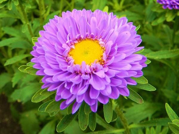 Картинка Цветок астра лиловый » Астры » Цветы » Картинки ...