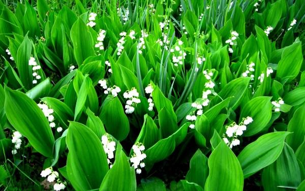 Картинка Ландыши » Разные цветы » Цветы » Картинки 24 ...