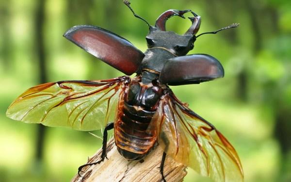 Картинка Летающий жук олень » Жуки » Насекомые » Животные ...
