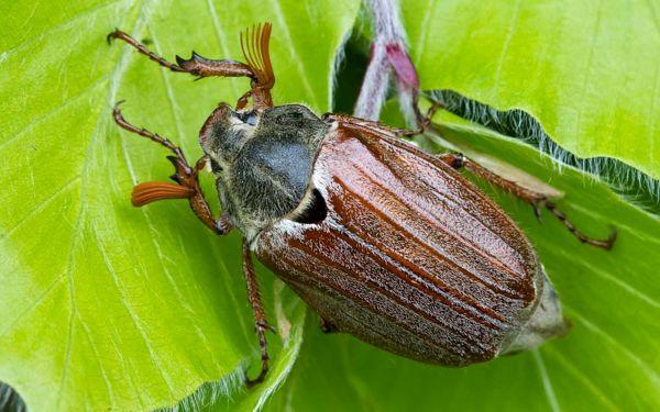 Картинка Майский жук » Жуки » Насекомые » Животные ...