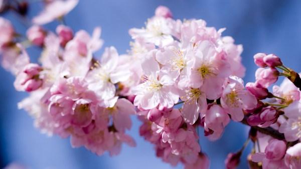 Картинка Цветы сакуры » Деревья » Природа » Картинки 24 ...