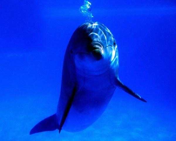 Картинка Дельфин пускает пузыри » Дельфины » Животные ...
