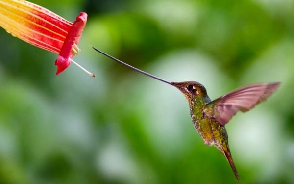 Картинка Мечеклювый колибри нацелился на цветок » Колибри ...
