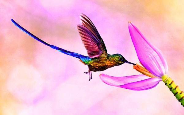 Картинка Птица колибри с длинным хвостом » Колибри » Птицы ...