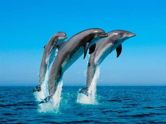 Обои Играющие дельфины, картинки - Обои на рабочий стол ...