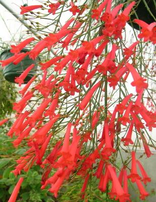 Russelia equisetiformis red