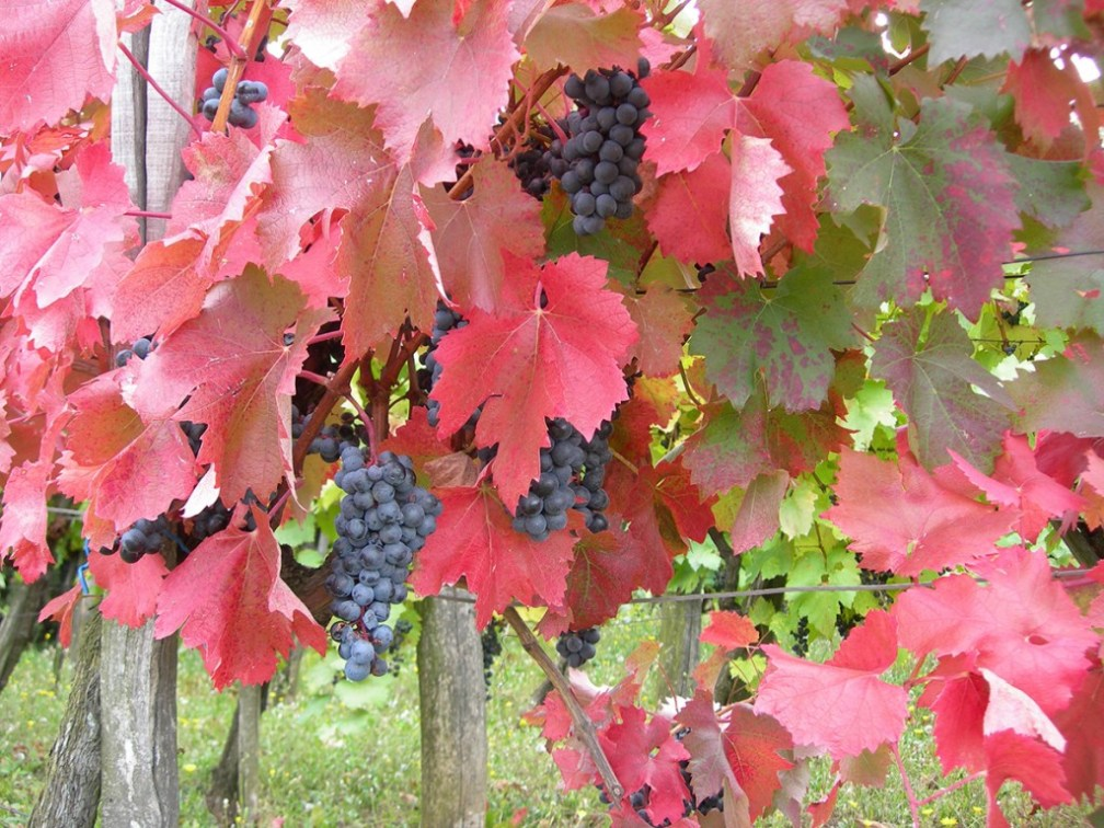 Gamza is a red grape variety associated with Bulgaria's Danubian Plain