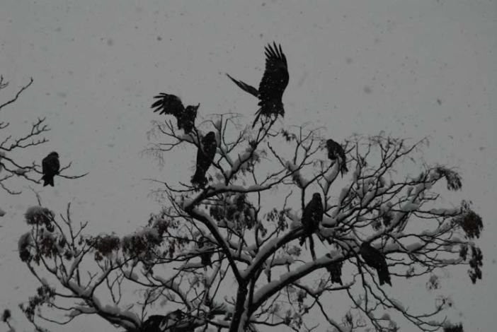Perched flight: With snow descending continuously from sky, high flying creatures like eagles were seen quite for the day