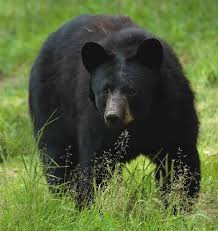 Wildlife Employees Capture A Bear Alive In Beerwah Area Of Central Kashmir