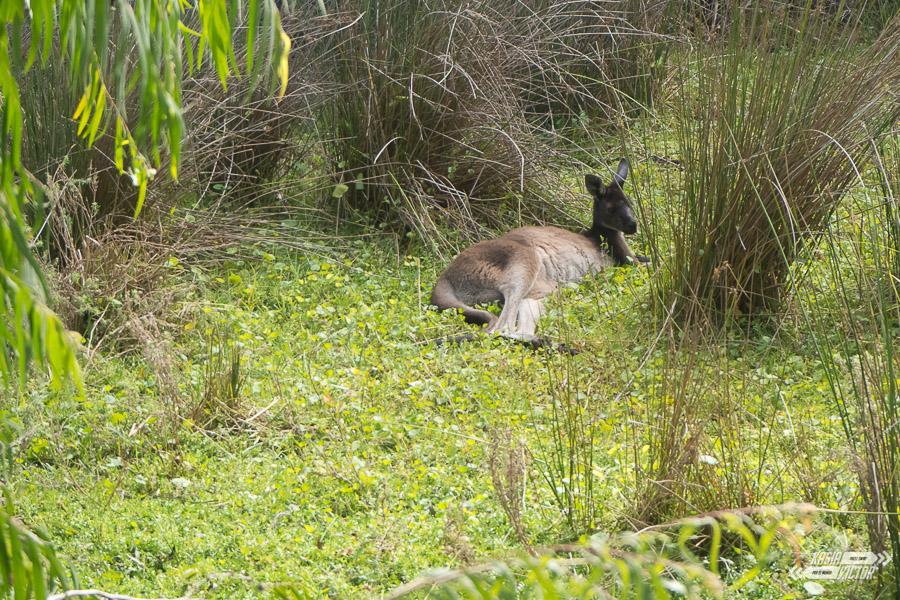 kangury w perth