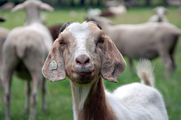 Standard-Goat