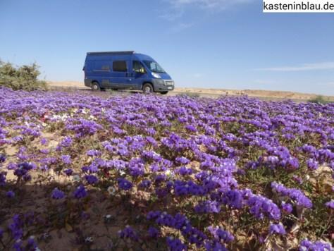 Die Wüste blüht lila