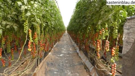 Tomaten reihenweise lecker!