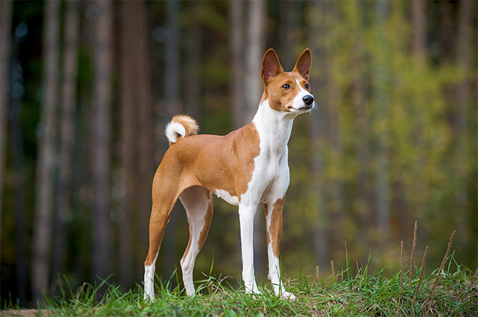 Are There Dog Breeds That Don't Bark?