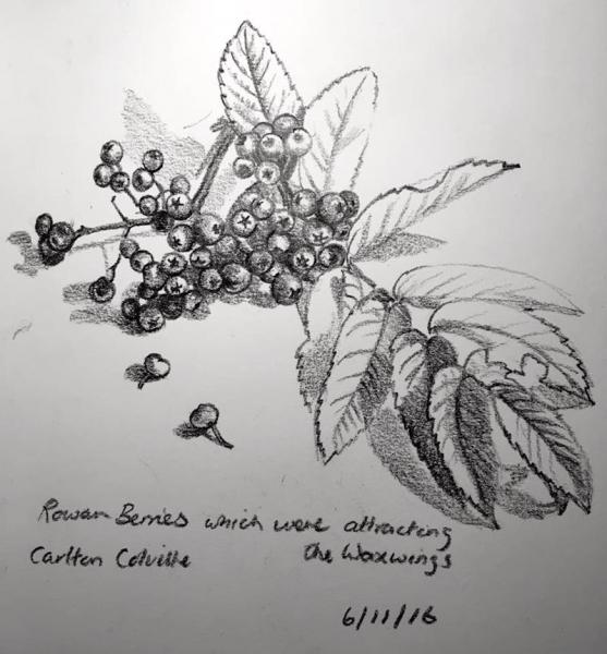 Rowan Berries 311