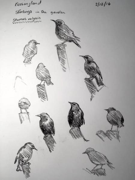 Starling 337