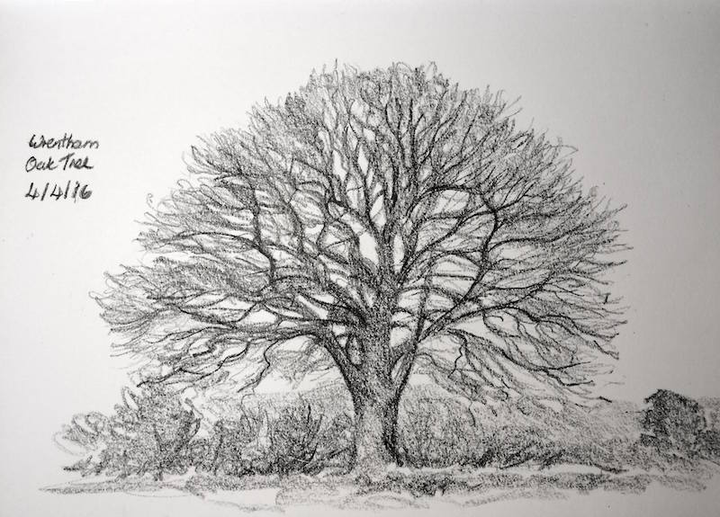 Wrentham oak tree sketch 95
