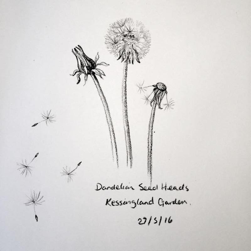 Dandelion seed heads sketch 148