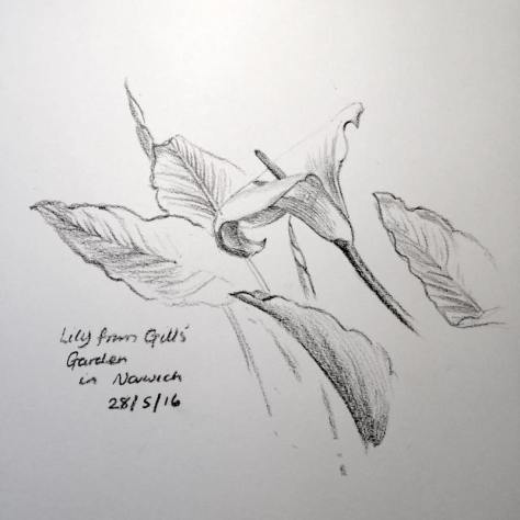 Norwich Lily sketch 149