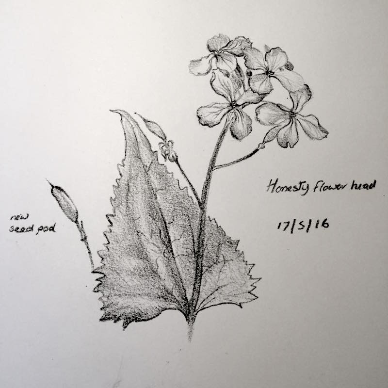 honesty flower sketch 138