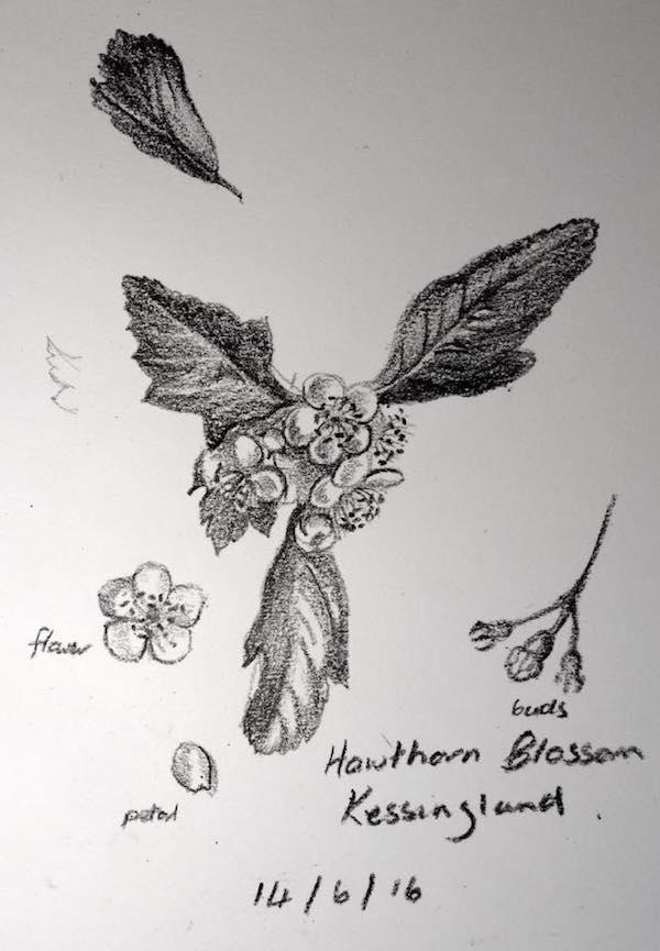 Hawthorn Blossom sketch 166