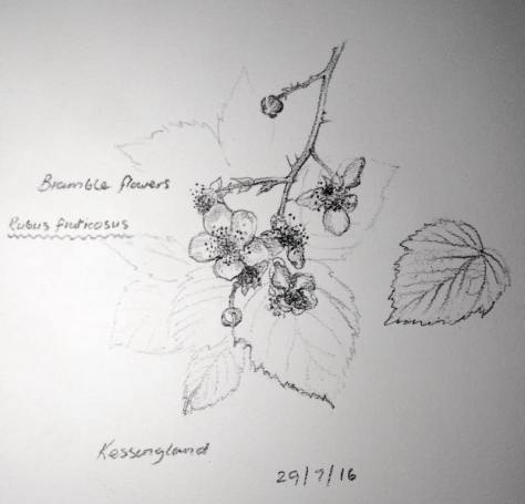 Blackberry flowers sketch 211