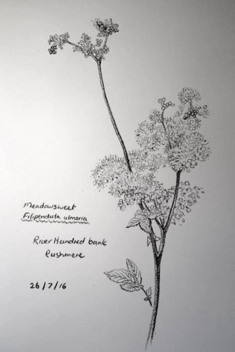 Meadowsweet sketch 208