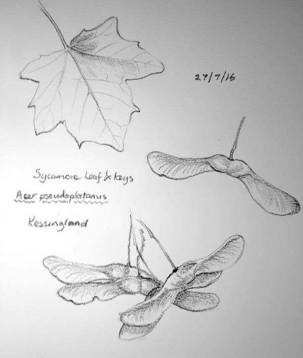 Sycamore keys sketch 209
