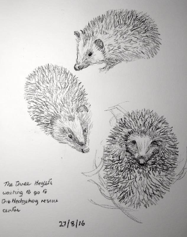 Hoglets sketch 240