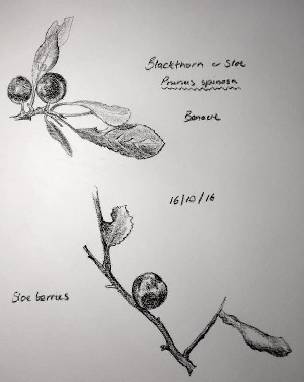 Sloe berries sketch 290