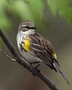 Yellow-rumped_Warbler_m17-48-113_l