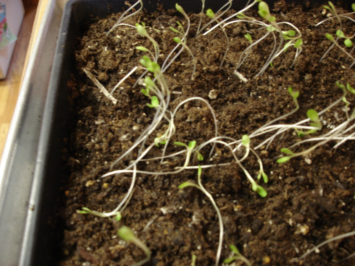 Spindly Seedlings