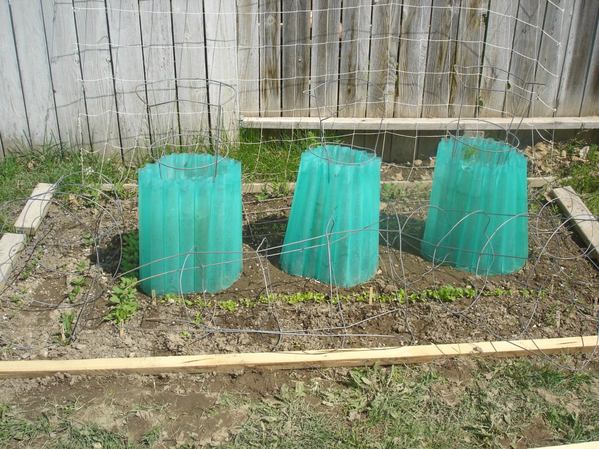 Garden Update + Using Walls of Water with Tomato Cages