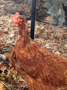 Butterfly - The Molting Chicken