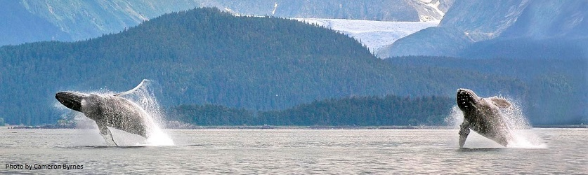 Two Humpback Whales breach in Lynn Canal with Herbert Glacier in the mountains byehind them. Photo by Cameron Byrnes.
