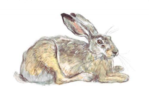 Hare. Watercolour illustration