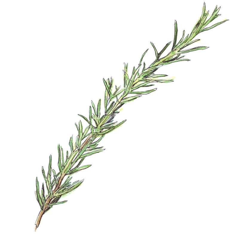 rosemary illustration, food illustration watercolour