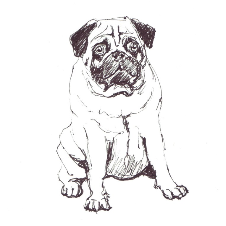 pug sketch, animal illustration line drawing