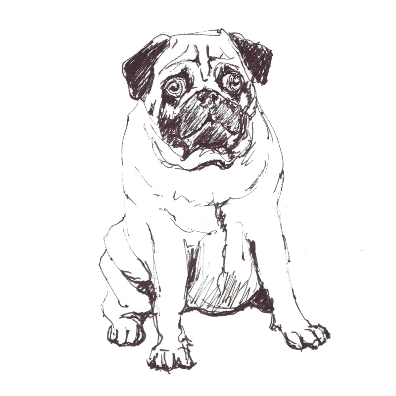 pug sketch, animal illustration line drawing