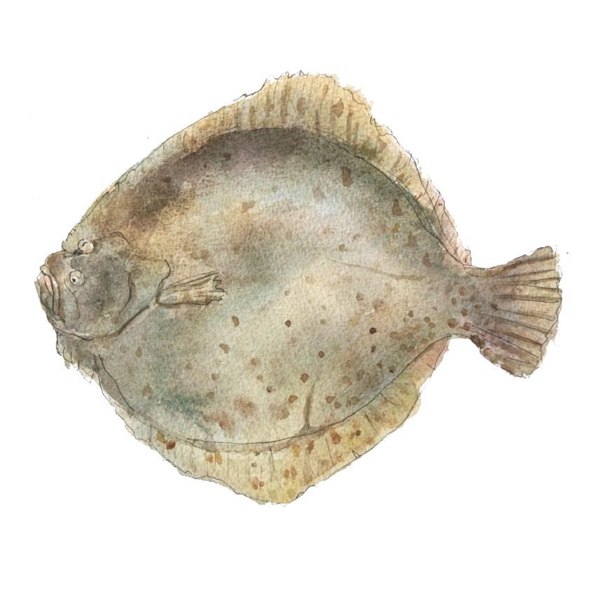 turbot fish illustration