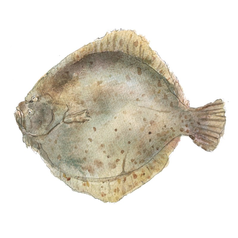 turbot fish illustration