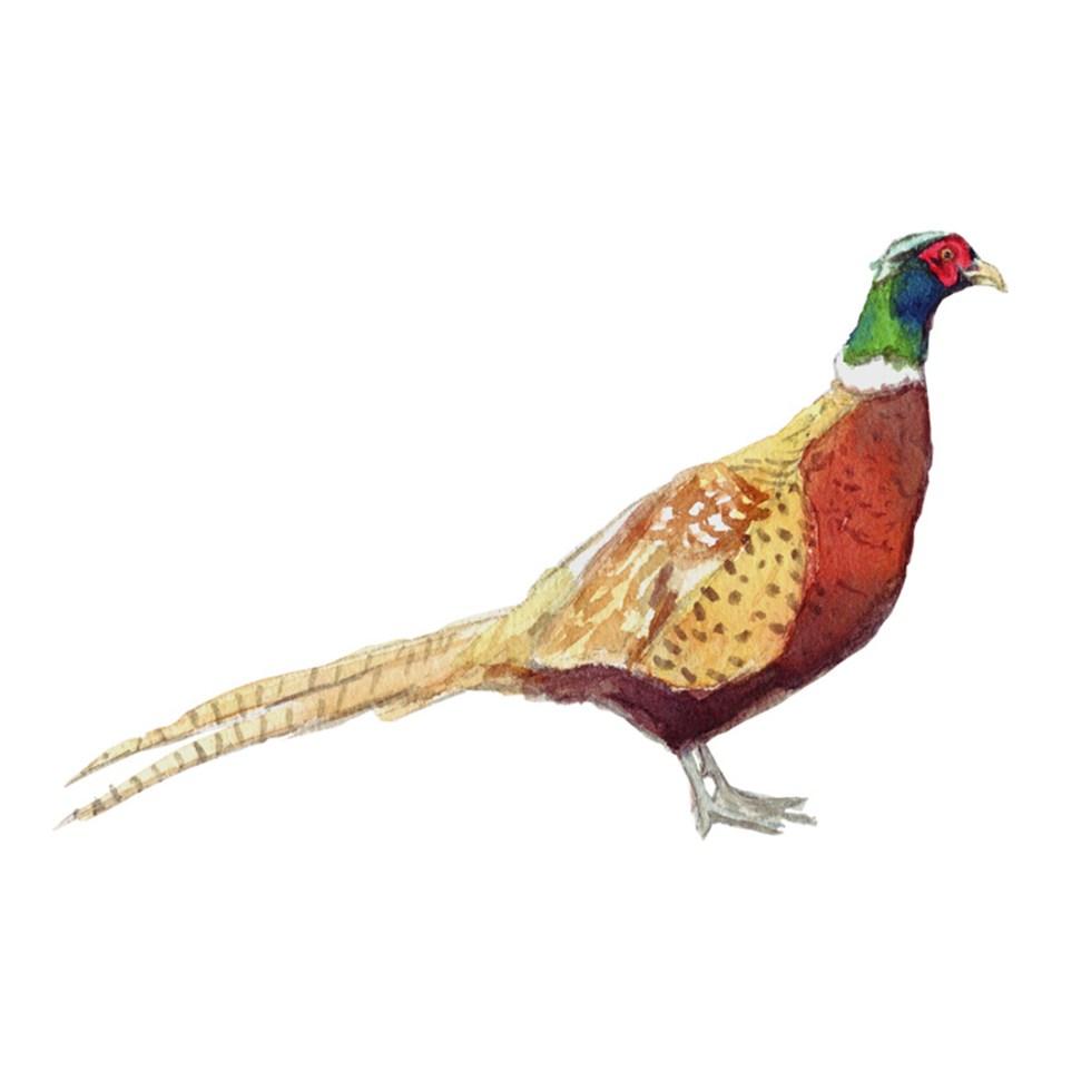 Pheasant watercolour illustration