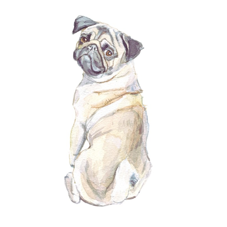 Watercolour painting of a pug
