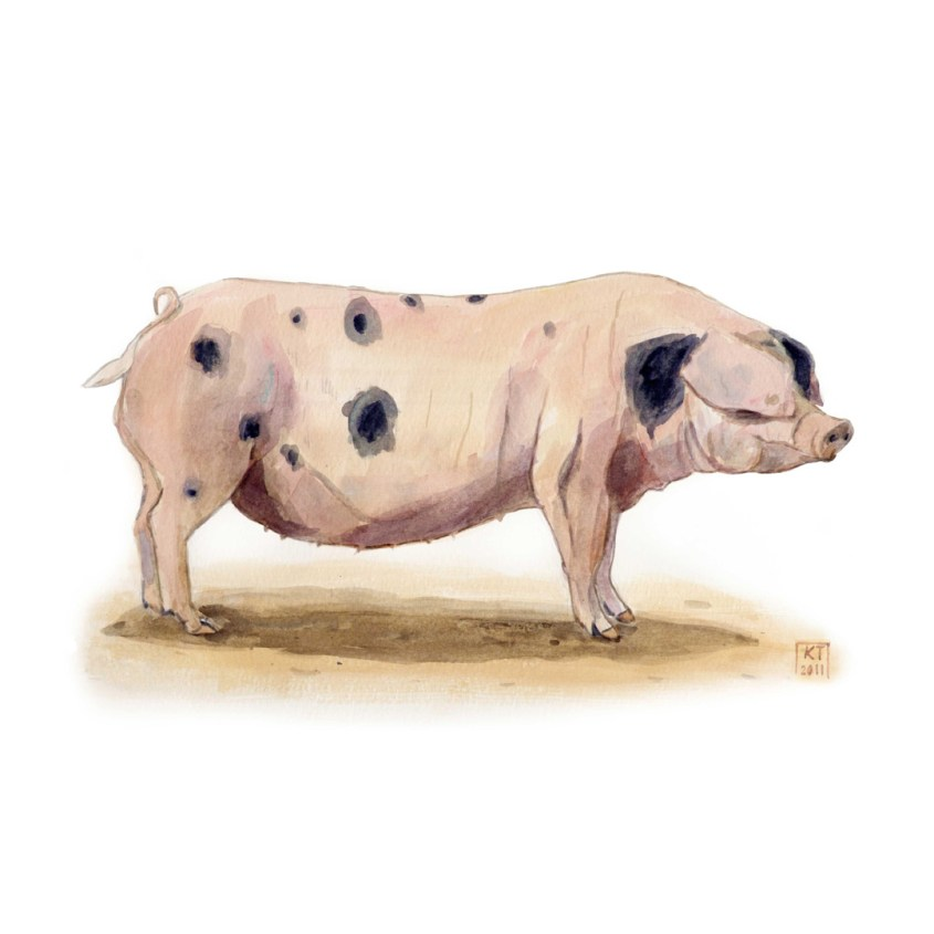 Gloucester Old Spot pig watercolour painting