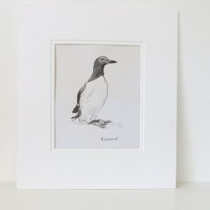 Guillemot line drawing