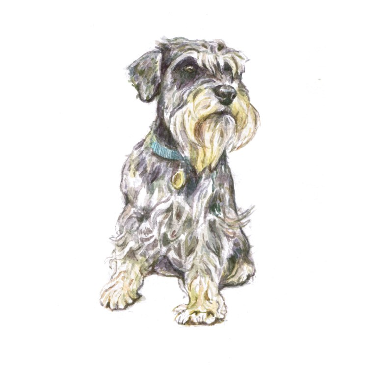 Watercolour illustration of a Miniature Schnauzer