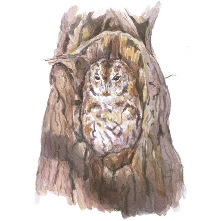 tawny owl illustration