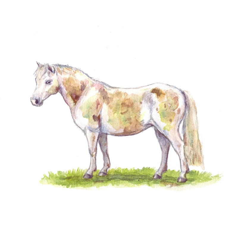 welsh pony illustration